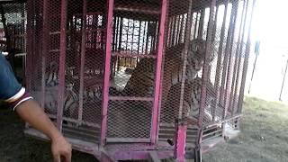 Tigres de circo the big circus