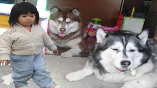 犬達ハスキーに囲まれても我関せずSurrounded by dogs Ignore husky Children thumbnail