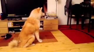 Ayu - Akita Inu (14 Months) - Tricks - Part 1