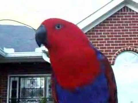 Bridget Talking Eclectus Parrot
