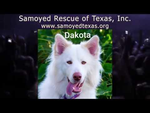 Samoyed Rescue of Texas