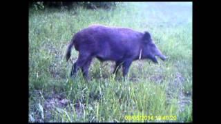 Videotrappole Provincia Teramo : lupo, gatto selvatico, istrice, capriolo, cinghiale, ecc.