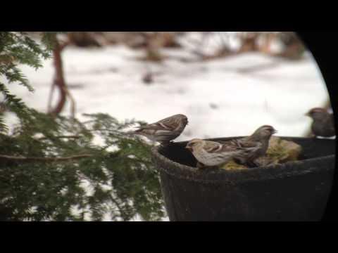 Hoary Redpoll - (Acanthis hornemanni exilipes) Centre County, Pennsylvania