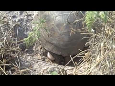 Gopher Tortoise Egg Laying