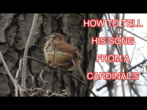 How To Identify A Carolina Wren's Song: NARRATED