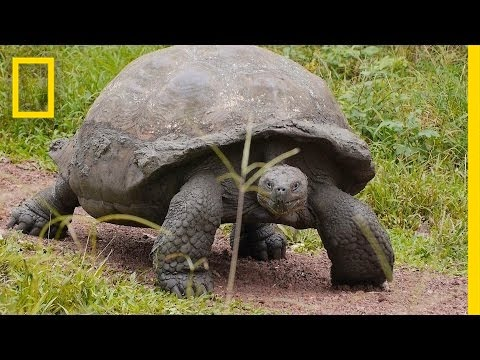 World's Biggest Tortoise Can Live Up to 120 Years | National Geographic
