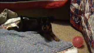 Worlds Cutest Min Pin First Bark