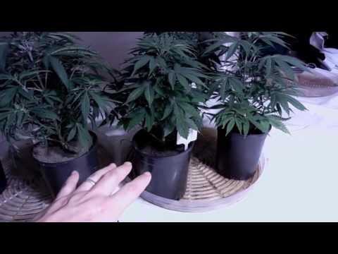 HOW TO WATER CANNABIS PLANTS!
