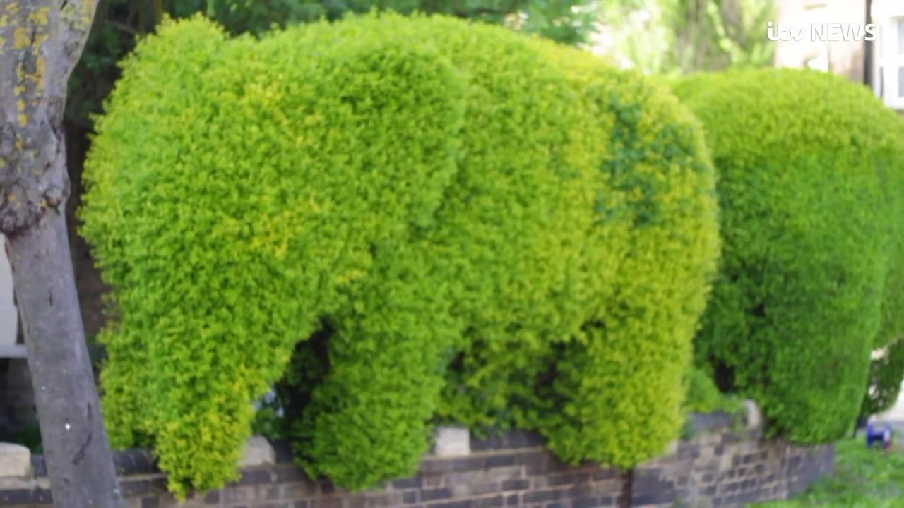 Elephant Shaped Garden Hedges Guaranteed To Turn Heads Itv News