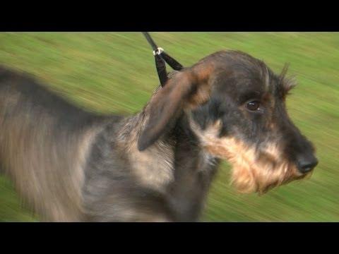 Bath Championship Dog Show 2014 - Hound group