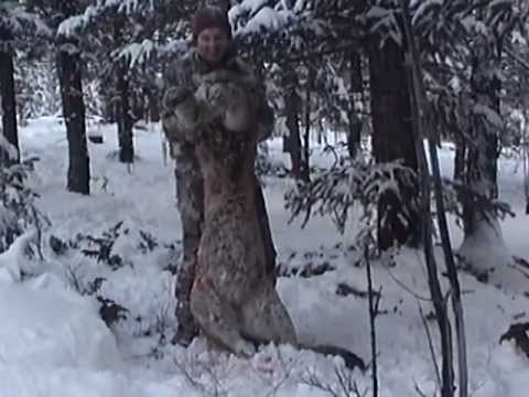 Huge Mountain Lion Bow Hunt In Colorado Youtube