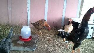My thai rooster with asil and shamo hens