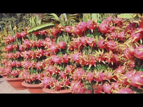 Wow Strange Dragon Fruit Bonsai Trees In Pots How To Make Dragon Fruit Bonsai Tree In A Pot Youtube