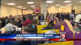 Tail-wagging Beagle Wins Best In Show At Westminster