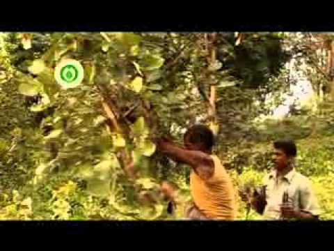 Lac Cultivation in Chhattisgarh (India) -  Part 2