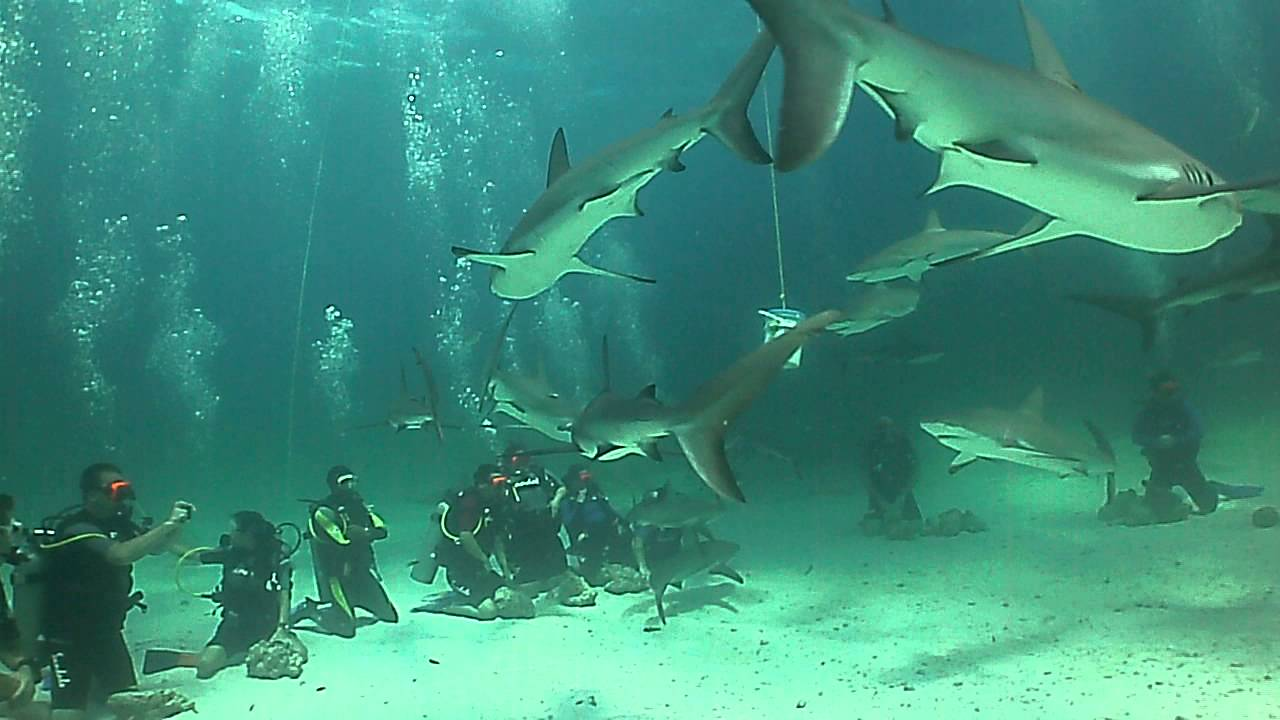 Shark Dive With Sandals Royal Bahamian Dive Staff 7 Sep