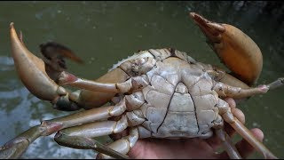 在红树林装了几条地笼,两天后来收,抓到一只超大青蟹,要发财了