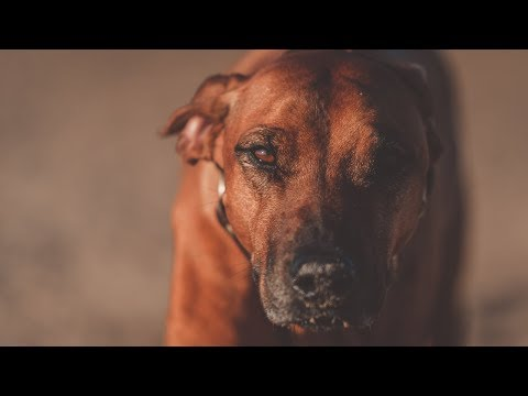 Five Years Living With Rhodesian Ridgeback Mayhem