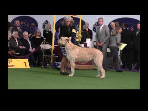 2019 Westminster Kennel Club - Irish Wolfhounds