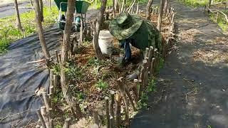 거창 생태농장 이미지정원 버드나무 숲에 맥문동 심기