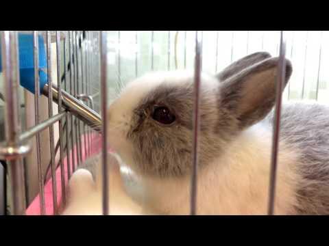 ลูกกระต่ายแคระ nd กินน้ำจากขวด