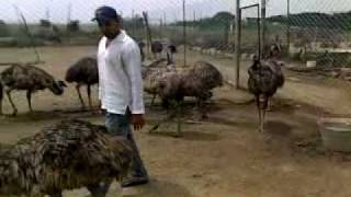 Virk in emu farm