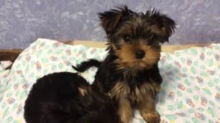 Puppies of a Yorkshire terrier (2 months)