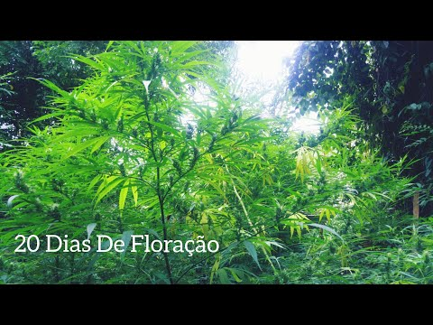 Cannabis Sativa 20 Dias De Floração #72 ( GORDÃO  THC )