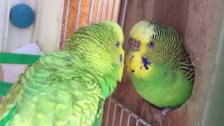 Male Budgie/Parakeet Courting Female(Волнистых попугаев)
