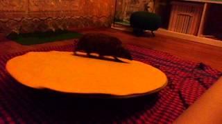 Elizabeth - Jeż na talerzu