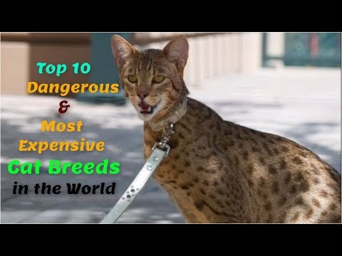 Top 10 Dangerous & Most Expensive Cat Breeds in the World