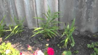 Имбирь(Выращивание имбиря в домашних условиях., 2016-01-08T10:09:13.000Z)