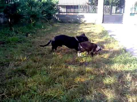 Amerikai staffordshire terrier vs. Tacskó