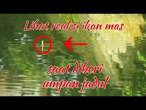 Umpan Jadul Ikan Mas Tambah Josss Dijaman Now  - Carp Bait