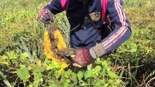 Honey Hunters of Cambodia (Apis florea)
