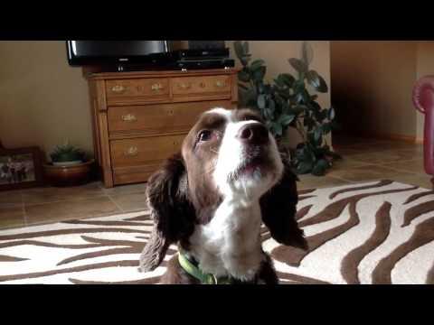 Springer Spaniel Howling