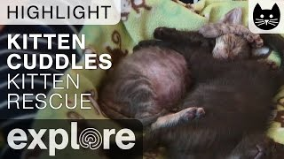 Cute Kitten Cuddles - Kitten Rescue - Live Cam Highlight