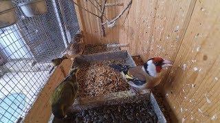Певчие птицы в вольере(утренняя кормешка)Щегол,Чиж,Репел,зеленушка.Canto Cardellino