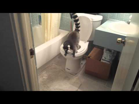 How to potty train a lemur
