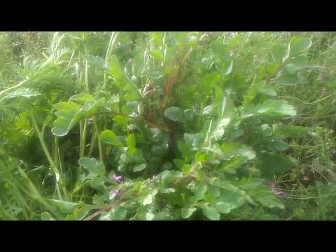 Gelincik çiçeği otu ball� otu sahtere gelincik otunun faydaları çayının yararları nelerdir