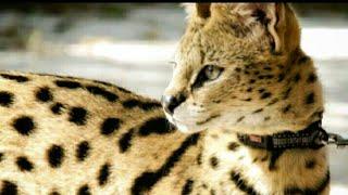 Сервал Вир:Разведение сервалов (новый котик)