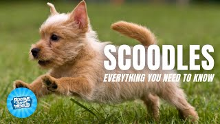 Scoodles Dog Breed Information  A Therapeutic Addition to the Family   Scoodles Dogs 101