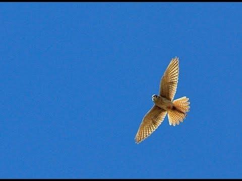 American Kestrel Nest Box Study
