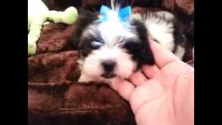 Palm Beach Puppies Fluffy Shih Tzu / Maltese Female