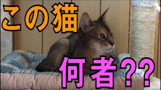 【この猫何者?】知られざる実家猫について紹介します!!【ショウ編】 thumbnail