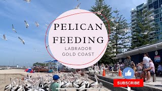 Wild Pelican Feeding at Labrad…