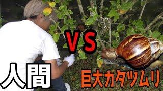 超巨大毒カタツムリを捕獲せよ【沖縄】