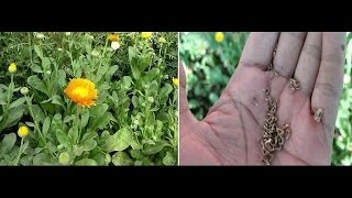 Collect Calendula Seeds !! How to harvest Calendula Seed - English
