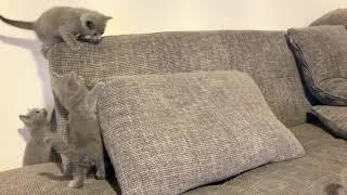 Cute Kitten ( Russian Blue )