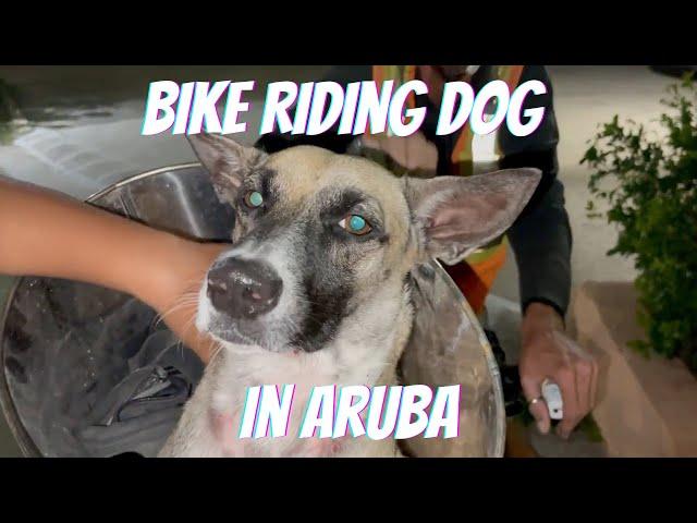 Bike Riding Dog in Aruba